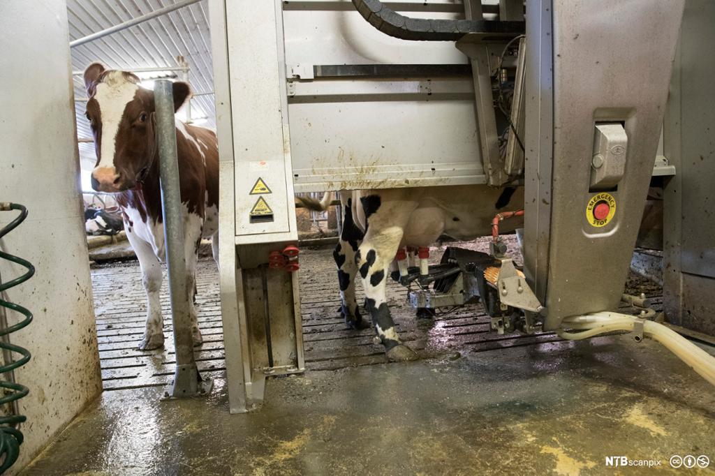Ku som blir melket av en melkerobot. Foto