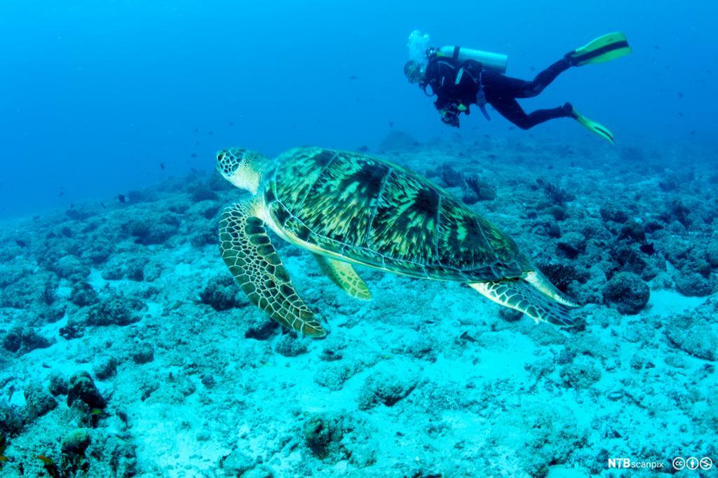 Dykker og grønn havskillpadde i havet utenfor Madivene. Foto.