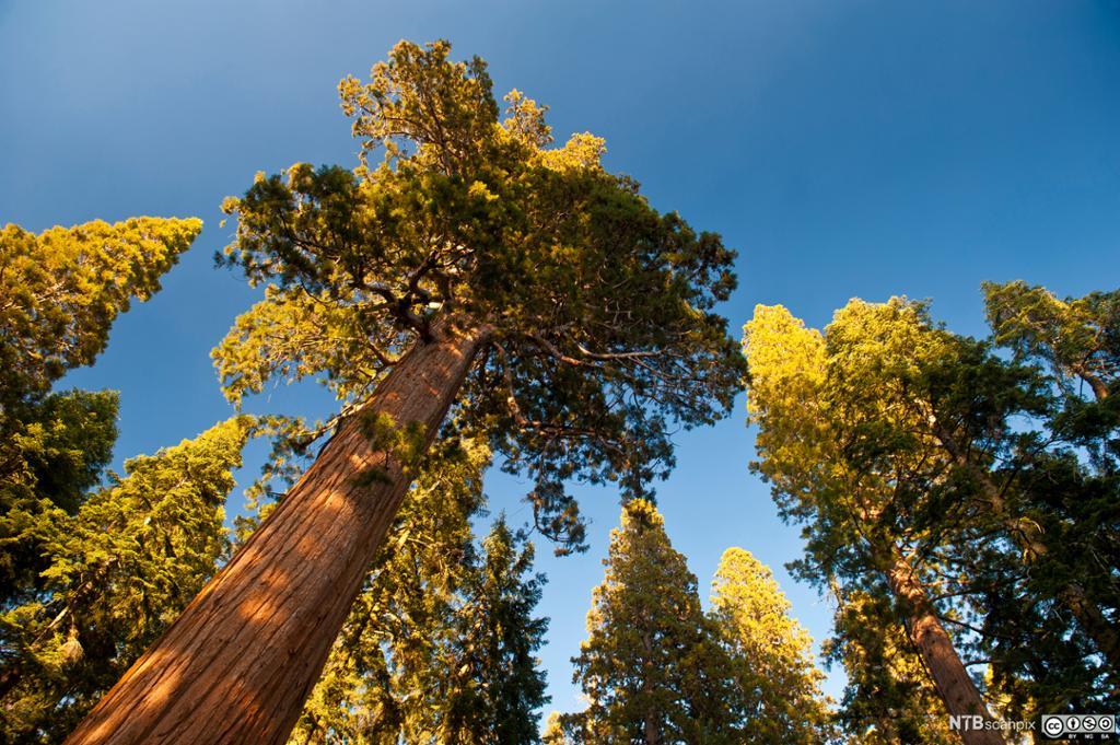 Redwood. Foto.
