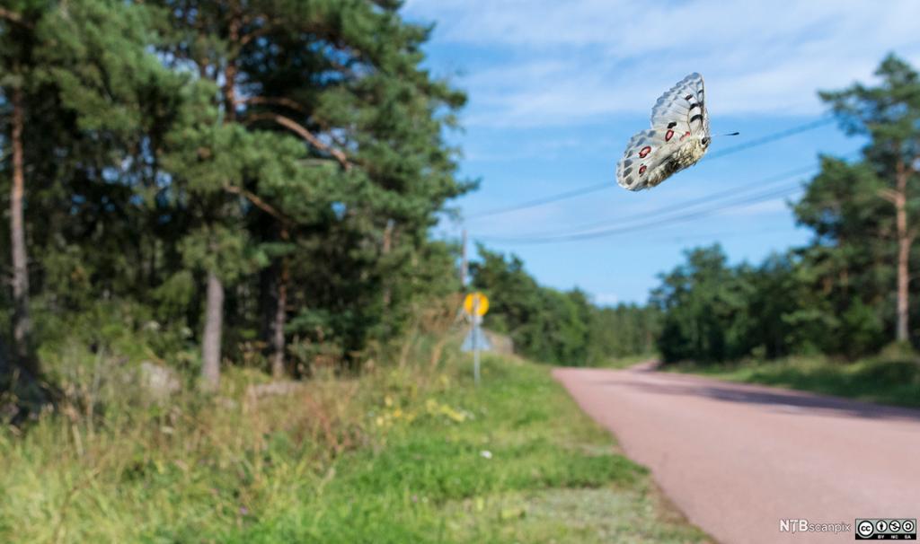 Stor sommerfugl flyr over en vei. Foto.