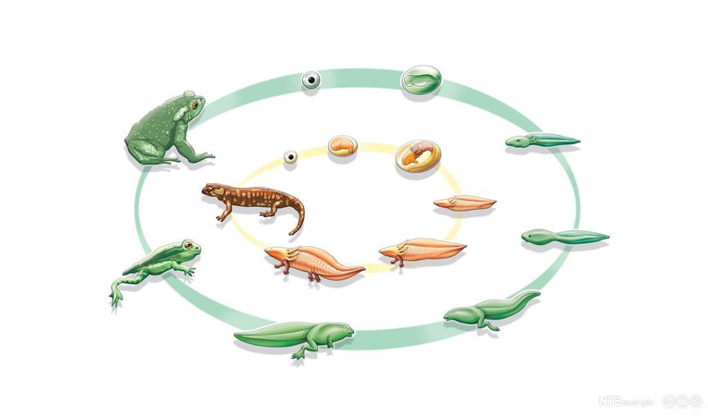 Sammenlikning av livssyklus hos frosk og salamander. Illustrasjon.