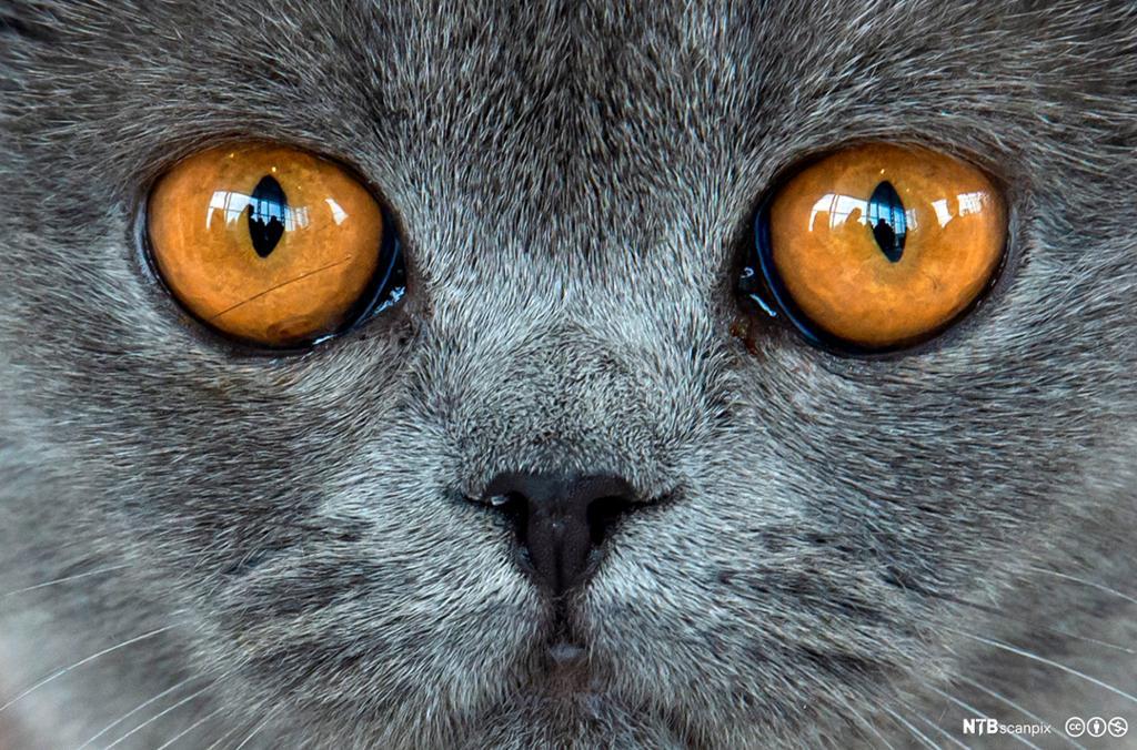 Nærbilde av katt. Grå pels og gulbrune øyne. Foto.