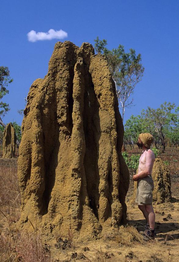Store tuer bygd av termitter. Foto.