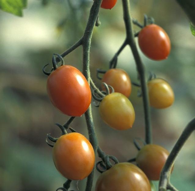 Tomater på klase. Foto.