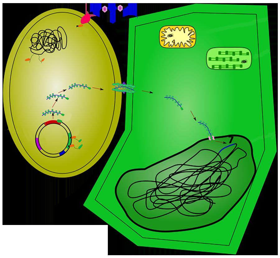 Bakterie overfører gen til plantecelle. Illustrasjon