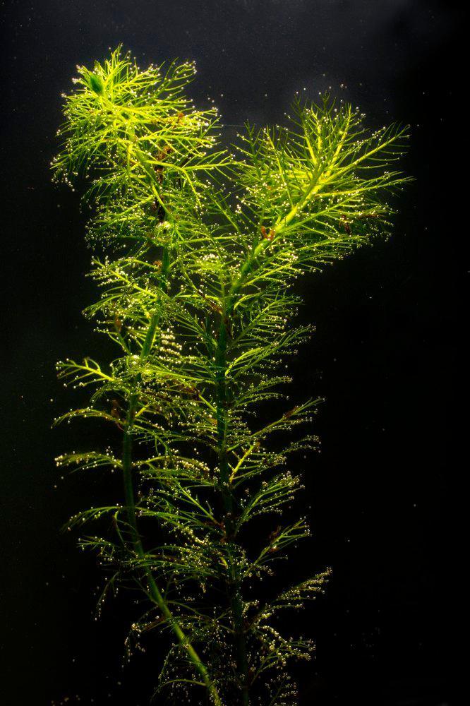 En nedsenket vannplante - tusenblad. Foto.