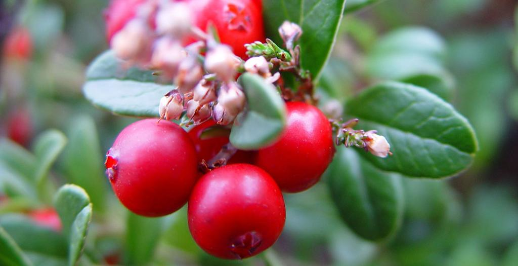 Tyttebær. Foto