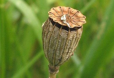 En tørr, rund og brun frøkapsel.