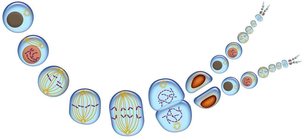 Ulike stadier i celledeling. Illustrasjon.