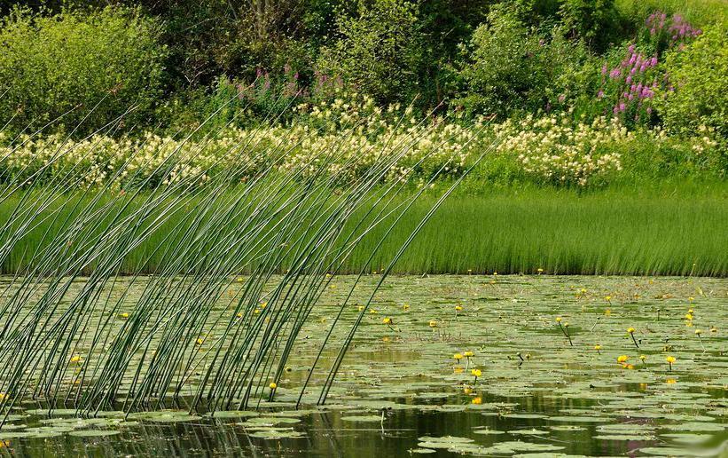 Siv og gul nøkkerose i vannet. Foto.