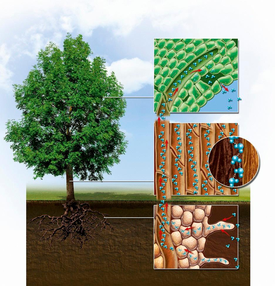 Illustrerer de ulike kreften som virker ved langtransport av vann hos planter