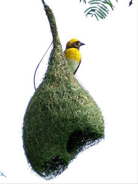 Veverfugl med sitt unike reir som har gitt navnet til fuglen.