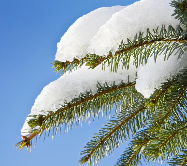 Grankvist dekt av snø. Foto.