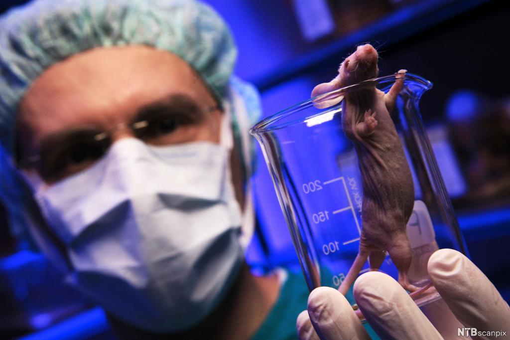Mann med munnbind og hårnett holder fram et glass med en hårløs mus. Foto.