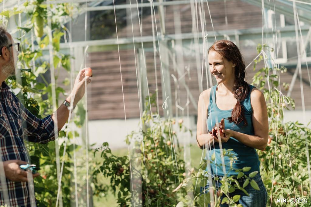 To personar står mellom tomatplanter i eit stort drivhus. Den eine held opp ein tomat og viser til den andre. Foto.
