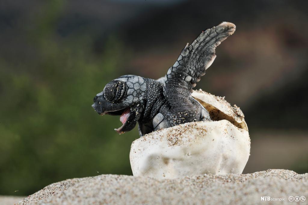 Skilpaddeunge på vei ut av egg. Foto.
